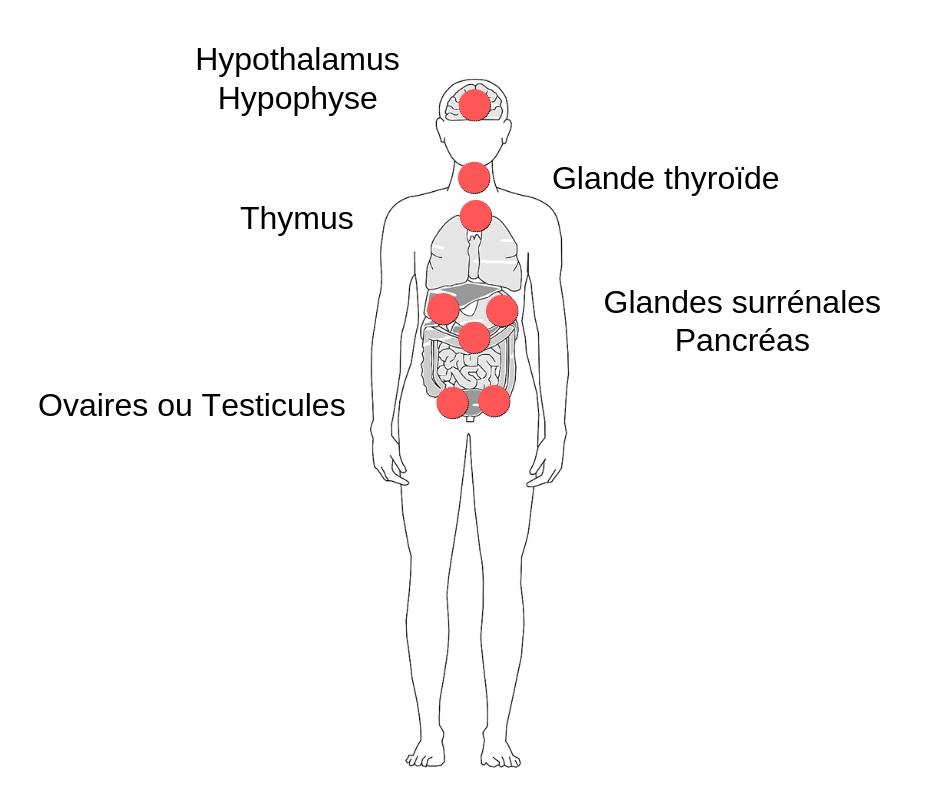 Perturbateur endocrinien système organes