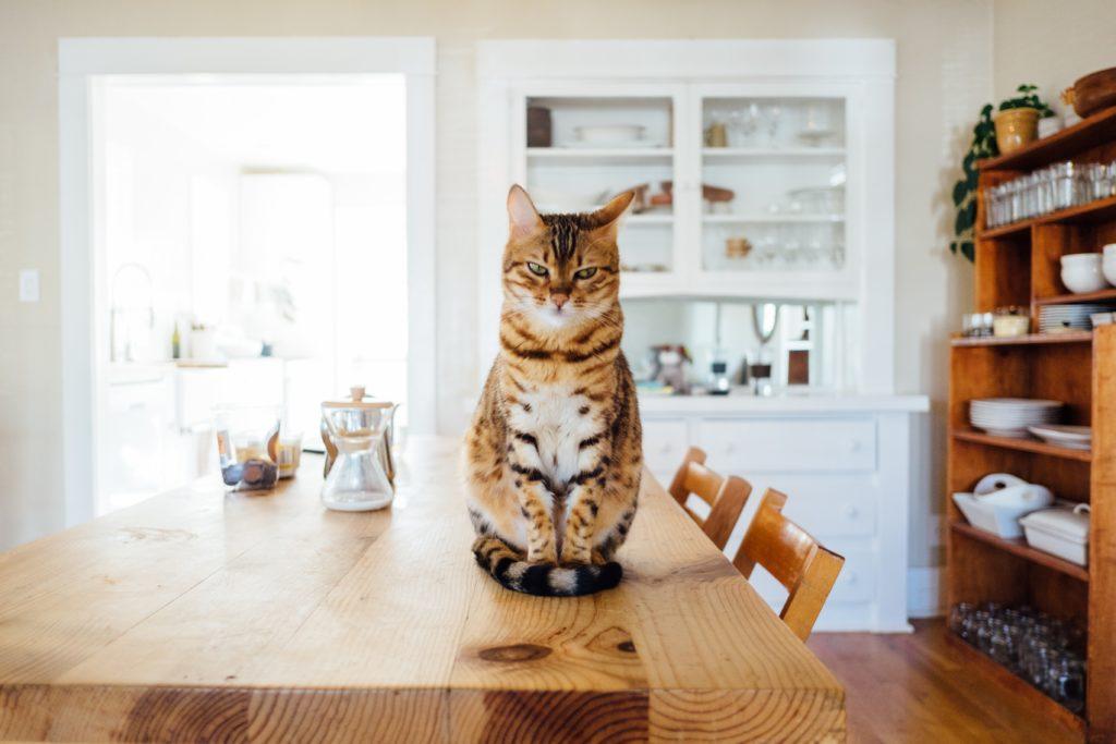 traitement chat puces solution naturelle